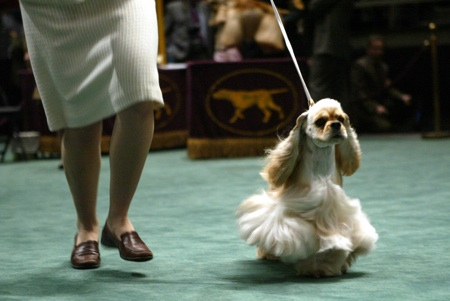 A cocker spaniel is presented for competition by it's handler in the ring during the 130th Westminster Kennel Club Dog Show, Tuesday, Feb. 14, 2006 in New York's Madison Square Garden.